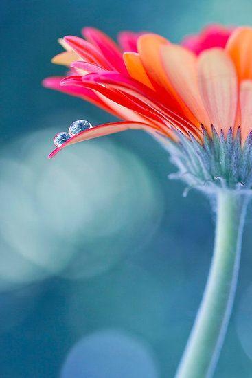 عکاسی کلوزآپ از گل ها